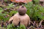 Sessile Earthstar (Geastrum fimbriatum)